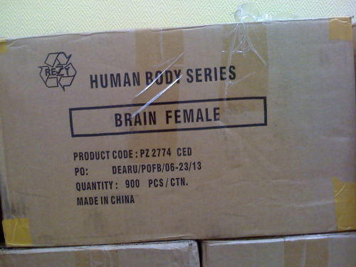 brainfemale