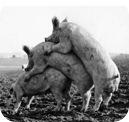 cerdos-jugando